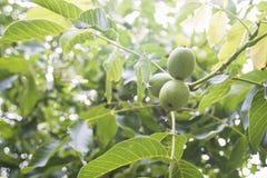Trois noix sur l'arbre photographie stock libre de droits