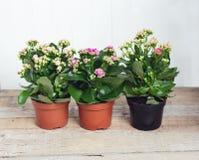 Trois nuances des fleurs roses de Kalanchoe sur un fond en bois Plan rapproché image stock