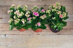 Trois nuances des fleurs roses de Kalanchoe sur un fond en bois Plan rapproché Vue supérieure images libres de droits