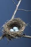Trois oeufs bleus dans l'emboîtement Photo libre de droits