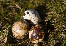 Trois oeufs dans l'herbe sur la pelouse Image libre de droits