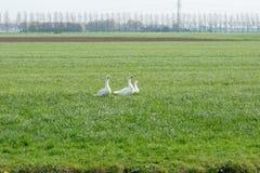 Trois oies blanches dans la prairie Images stock