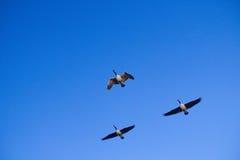 Trois oies canadiennes de Honkers Photographie stock