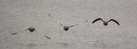 Trois oies cendrées en vol Image libre de droits