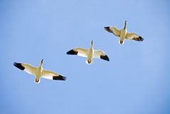 Trois oies de neige en vol Photos libres de droits