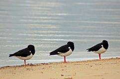 Trois oiseaux Image stock