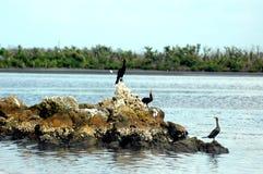 Trois oiseaux d'anhinga Photo libre de droits