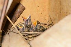 Trois oiseaux de bébé affamés dans vouloir de nid mangent Photographie stock