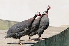 Trois oiseaux de Guineefowl se tenant et chantant Photographie stock