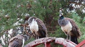 Trois oiseaux femelles de paon sur la roue en bois banque de vidéos