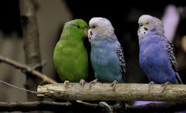 Trois oiseaux mignons ensemble comme amis Photos stock