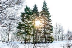 Trois ont mangé dans le jardin botanique couvert de neige dans le contre-jour du coucher de soleil Photographie stock