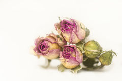 Trois ont séché la rose de rose avec les bourgeons non-ouverts sur un fond blanc, Images libres de droits