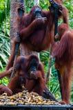 Trois orang-outan Utan accrochant sur un arbre dans la jungle photo libre de droits