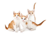 Trois oranges et chatons blancs regardant en avant Photo stock
