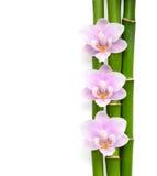 Trois orchidées et branches roses de bambou se trouvant sur le blanc Fond d'isolement Visualisé de ci-avant Photos stock