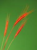 Trois oreilles de blé Image stock