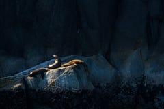 Trois otaries s'exposant au soleil sur une roche Photos libres de droits