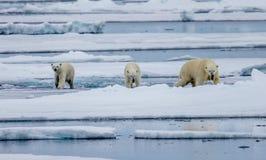 Trois ours blancs, femelles avec deux petits animaux marchent sur la banquise dans l'Arctique photographie stock libre de droits