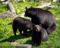 Trois ours noirs - mère et deux CUB Photo libre de droits