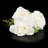 Trois ouvrent les roses blanches Photo libre de droits