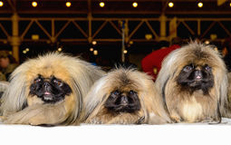 Trois pékinois Photo stock