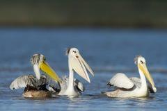 Trois pélicans blancs d'Easten Image libre de droits