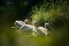Trois pélicans dans un lac Photographie stock