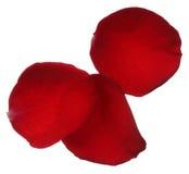Trois pétales de rose rouges d'isolement sur le fond blanc Photo libre de droits
