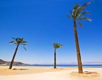 Trois palmiers Image libre de droits