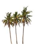 Trois palmiers de noix de coco Image libre de droits