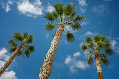 Trois palmiers de Sabal sur un fond de ciel Image libre de droits