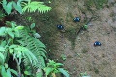 Trois papillons bleus sur un mur d'argile à côté des feuilles vertes photo libre de droits