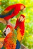 Trois perroquets Photo libre de droits