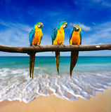 Trois perroquets (ara Bleu-et-jaune (ararauna d'arums) a également connu image stock