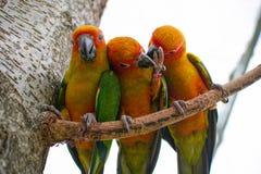 Trois perroquets colorés en gros plan sur une branche essayant de casser gratuit et ont cassé les chaînes Photos libres de droits