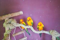 Trois perroquets multicolores se reposent sur une branche photos libres de droits