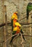 Trois perroquets sur une branche Image stock