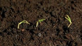 Trois petites plantes vertes cultivant la jeune plante de germination de la terre, laps de printemps de germination banque de vidéos