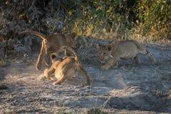 Trois petits animaux de lion jouant sur la terre poussiéreuse Photos stock