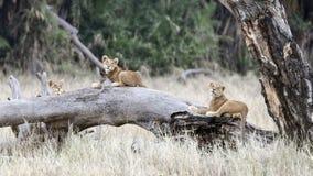 Trois petits animaux de lion se trouvant sur un grand tronc d'arbre tombé photos stock