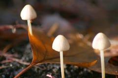 Trois petits champignons de couche Images stock