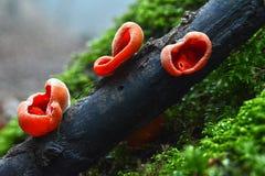 Trois petits champignons oranges sur la brindille putréfiée image libre de droits