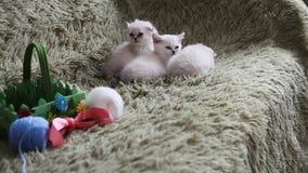 Trois petits chatons blancs détendent sur le divan banque de vidéos