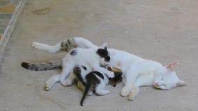 Trois petits chatons suçant tandis que le chat blanc dort sur le béton banque de vidéos