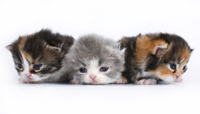 Trois petits chatons sur un fond blanc Photos stock