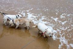 Trois petits chiens blancs sur des laisses aux eaux affilent à la plage un jour humide venteux Photographie stock