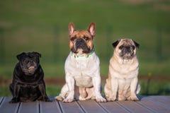 Trois petits chiens posant dehors Photo stock
