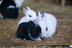 Trois petits lapins Noir et le blanc deux reposez l'accrochage entre eux images libres de droits