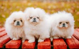 Trois petits morveux blancs de pékinois de pékinois de pékinois de chiots photographie stock